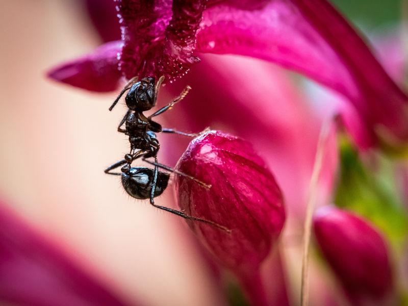 Schwarze Ameisen