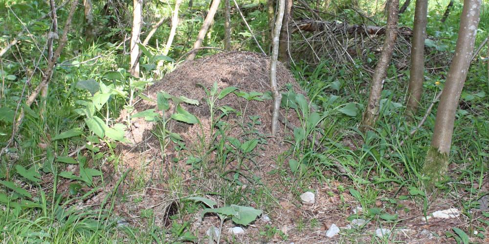 Rote Ameisen Ameisenhügel am Tegernsee